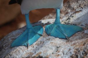 Blue footed booby avoids putting foot in it